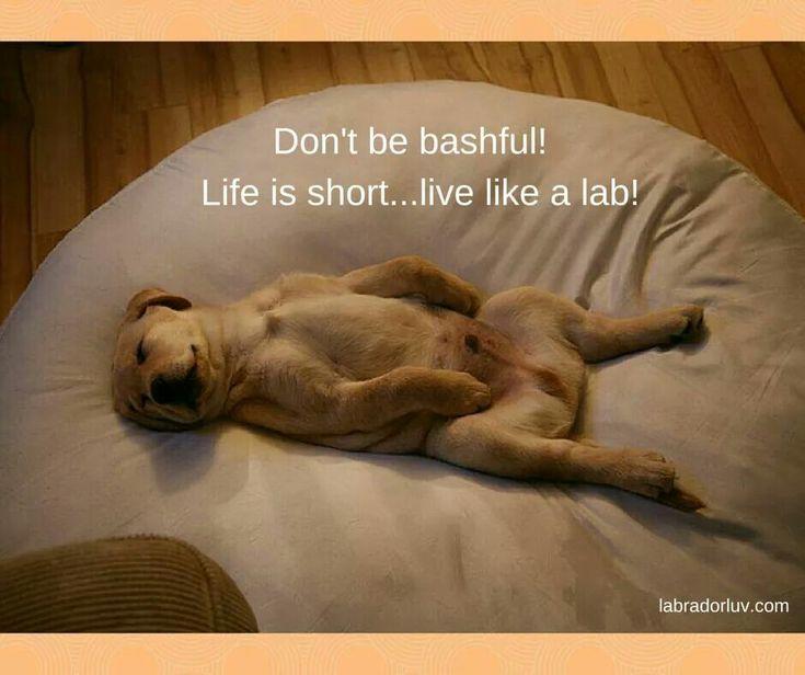 Labrador Retrievers have the best lives!
