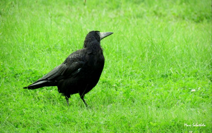 Dancing Raven