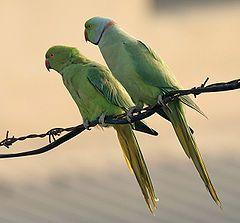 Macho e fêmea de periquito-de-colar