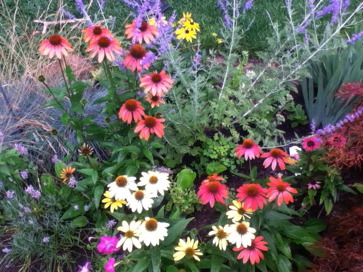 Perfect perennials, echinacea  and perovskia (Russian sage)