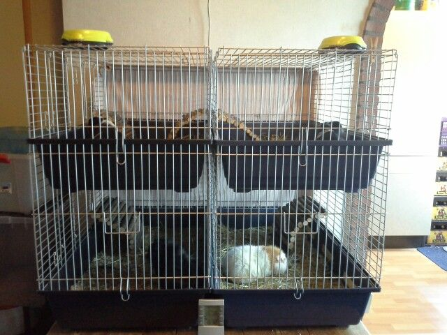 Mijn favoriete cavia's!  Love you; Ollie, Berry, Bob, Lemmy!  R.I.P; Kenny, Benni, Larry!