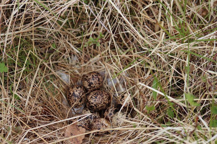 Grouse nest. Rype reir på Bjørkmo.