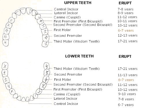 teething chart babies