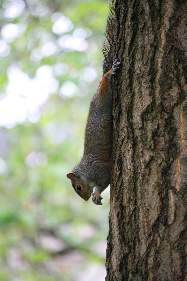 Squirrel in Hyde park - London. #london #hydepark #squirrel #chilling #upsidedown