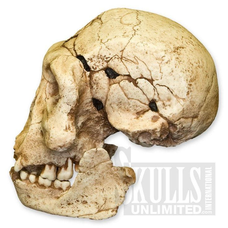 physical anthropology homo erectus Evolutionary relationships the earliest homo erectus were contemporaries of the late homo habilis in east africa for several hundred thousand years.