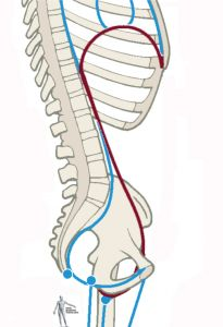 The posterior diaphragm is rooted into three structures: 1) the crura, which blend from the aortic arch into the anterior longtudinal ligament along the front of the lumbar vertebrae, 2) the psoas major (and, if present, the minor) which reaches down from each diaphragmatic dome to the lesser trochanter of the femur, and 3) the quadratus lumborum rooted down to the iliac crest and iliolumbar ligament (and in fascial terms beyond into the iliacus and iliac fascia).