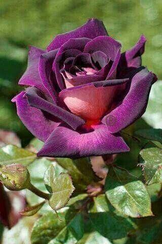 Purple velvet rose