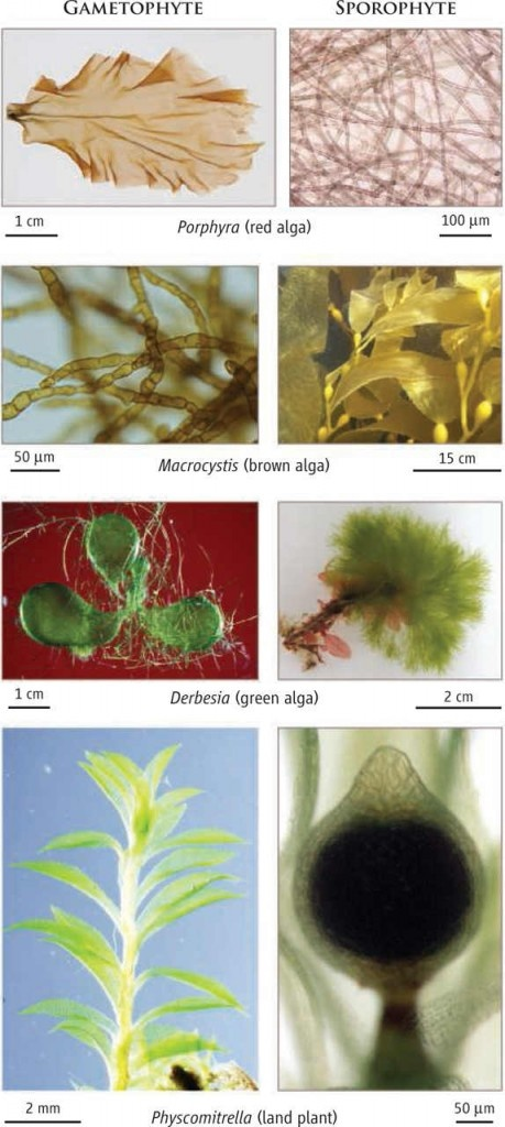 Scientific American article on Alternation of Generations in plants and some algae - a useful article to summarize plant development diversity.