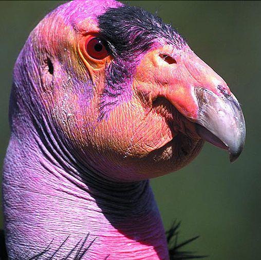 California condor- looks like something outta Jim Henson's studio