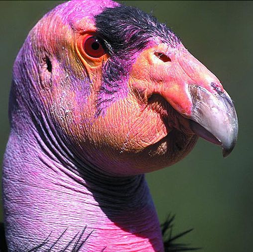 Extremely ugly animals - California Condor