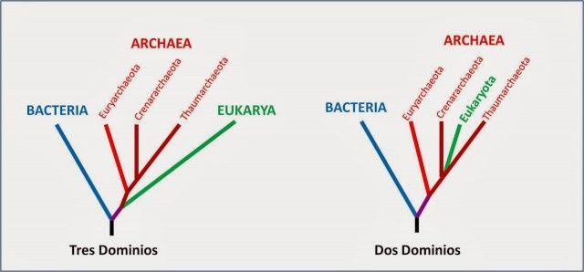 Lokiarchaeum es el procariota más parecido a un eucariota hasta ahora encontrado.  Todos estos datos indican que la arquea ancestro de eucariotas era mucho más compleja de lo que se pensaba hasta ahora y permite especular sobre cómo pudo ser el proceso de formación de los primeros eucariotas. Podemos suponer que la arquea ancestral tuviera ya algún tipo de citoesqueleto y cierta capacidad de formación de vesículas y fagocitosis (ausente en los procariotas) que podría haber facilitado la…