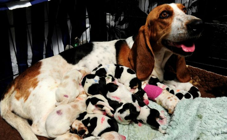 14 Thoughts This Basset Hound Is Having After Giving Birth To 14 Pups