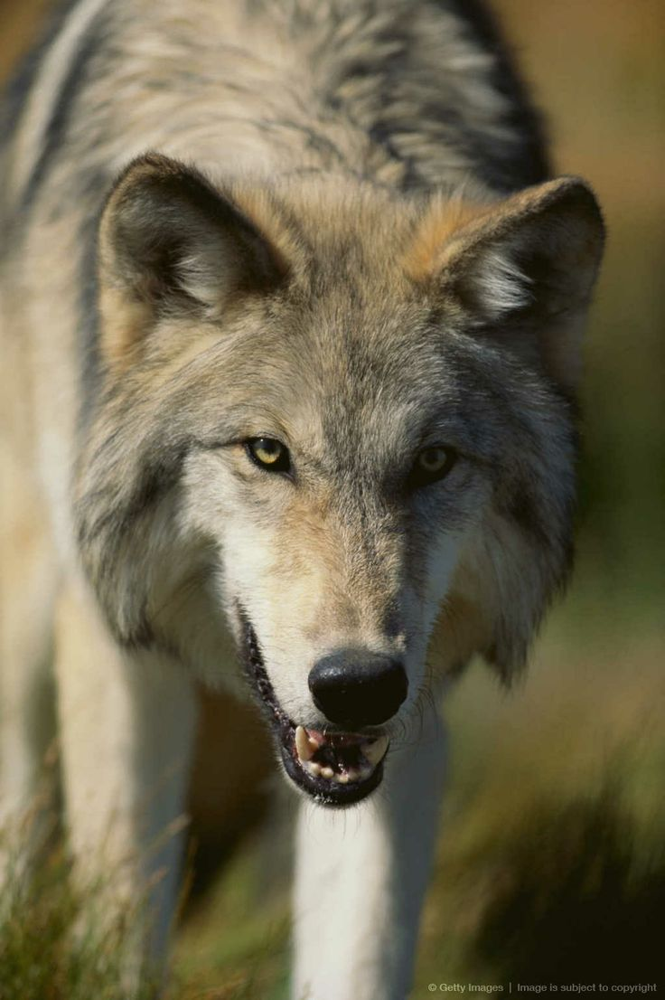 grey wolf snarling   Snarling Gray Wolf