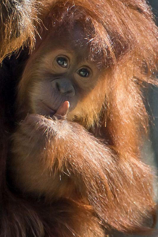 Little Orangutan   by helenehoffman