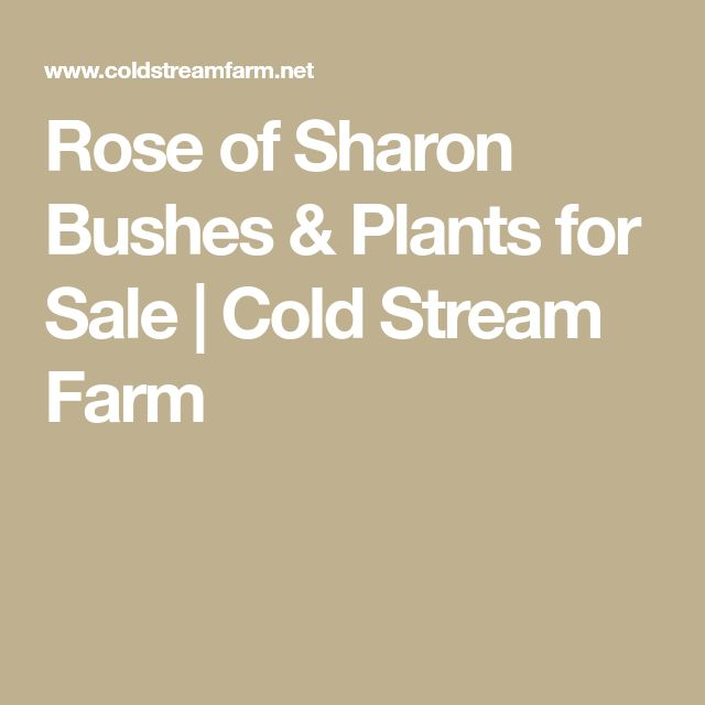 Rose of Sharon Bushes & Plants for Sale | Cold Stream Farm