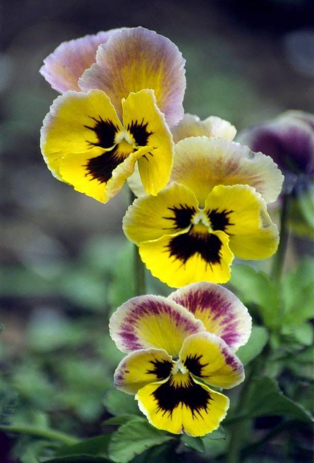 Pansies ~ Viola wittrockiana