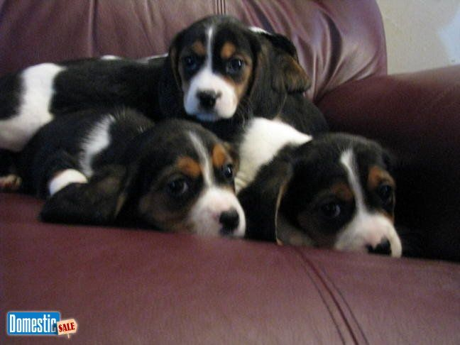 Adorable Designer Beaglier puppies for sale I have 4 adorable little boys and 3 little girls, Born 11/28/16 and ready to go. They are family raised, current on shots and ...