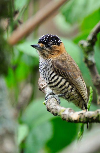 Pica-pau-anão-de-coleira ou Pica-pau-anão-de-pescoço-castanho (Picumnus temminckii)