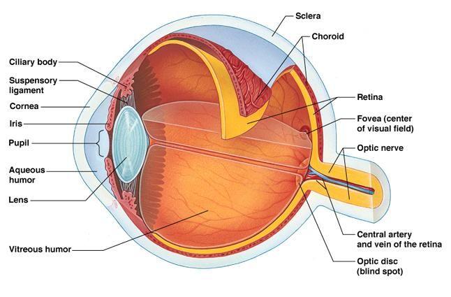 Human anatomy eye diagram