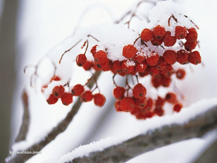 Capture the winter - beautiful Winter Photography  - Frozen winter fruits photo - fruits in the forst14