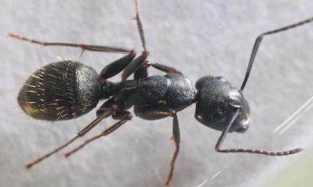 Carpenter ants seen indoors during winter months is an indication that there is an inside nest. Springer Pest has been receiving calls about those large black ants (aka Carpenter #Ants) being seen in kitchens, ceiling skylights and within areas of a home that have an abundance of #moisture. When ants are active during winter they will forage at night, searching for moisture.  #damage #DIY #pest #ants