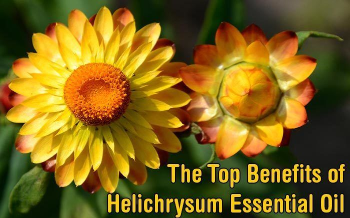 The Top Benefits of Helichrysum Essential Oil. Helichrysum Essential Oil has many benefits from wound healing and pain relief to easing coughs