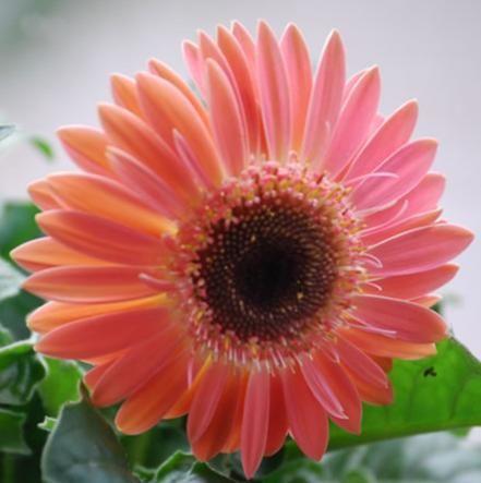 Gerbera jamesonii: φυτό του οποίου η καλλωπιστική αξία αναγνωρίστηκε μόλις τα τελευταία χρόνια...Ένα από τα 15 φυτά που προτείνει η NASA για το σπίτι μας!