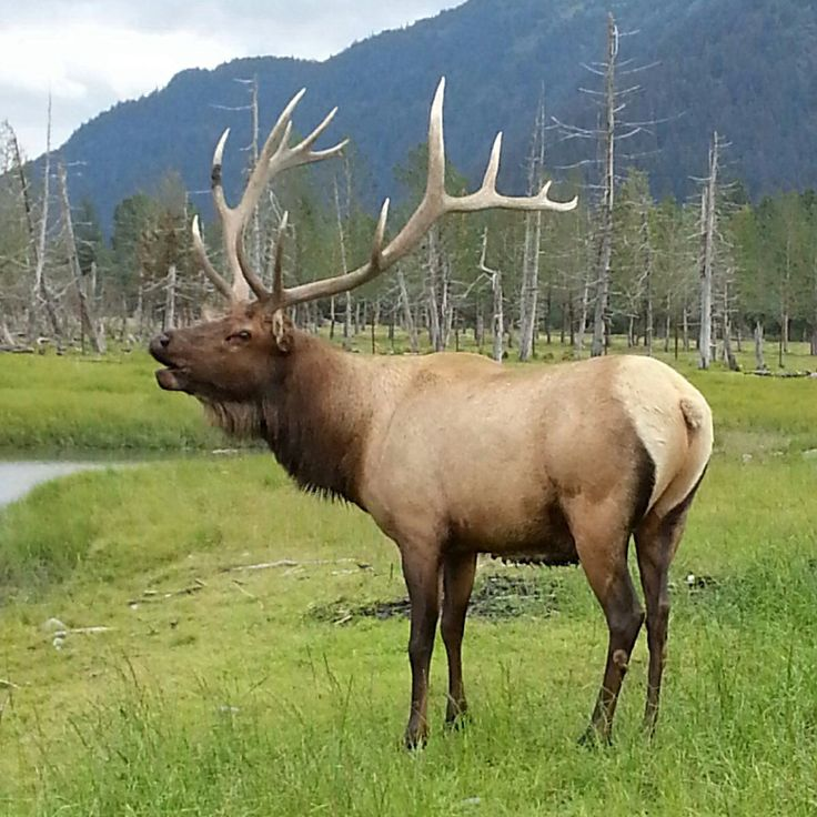Alaska Wildlife Rugs And Taxidermy Wasilla Ak: 87 Best Images About Elk And Deer On Pinterest