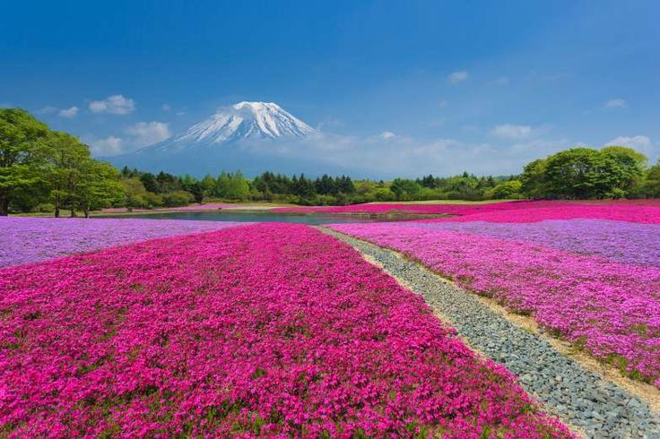 Every spring near Lake Motosu in Yamanashi Prefecture, Mother Nature produces a pink carpet with Mt.... - Jrtstock | Dreamstime.com