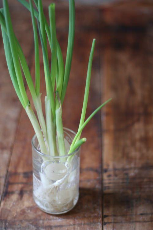 Laissez la cébette et autres oignons blancs grandir !  Ce genre de délicieux petit légume peut être conservé trois fois plus longtemps si on le laisse dans un verre d'eau... Et peut même se régénérer. Il suffira de couper ce dont vous avez besoin, et le reste continuera à grandir !