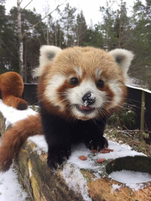 The Red Panda has snow on its nose!!!!!!