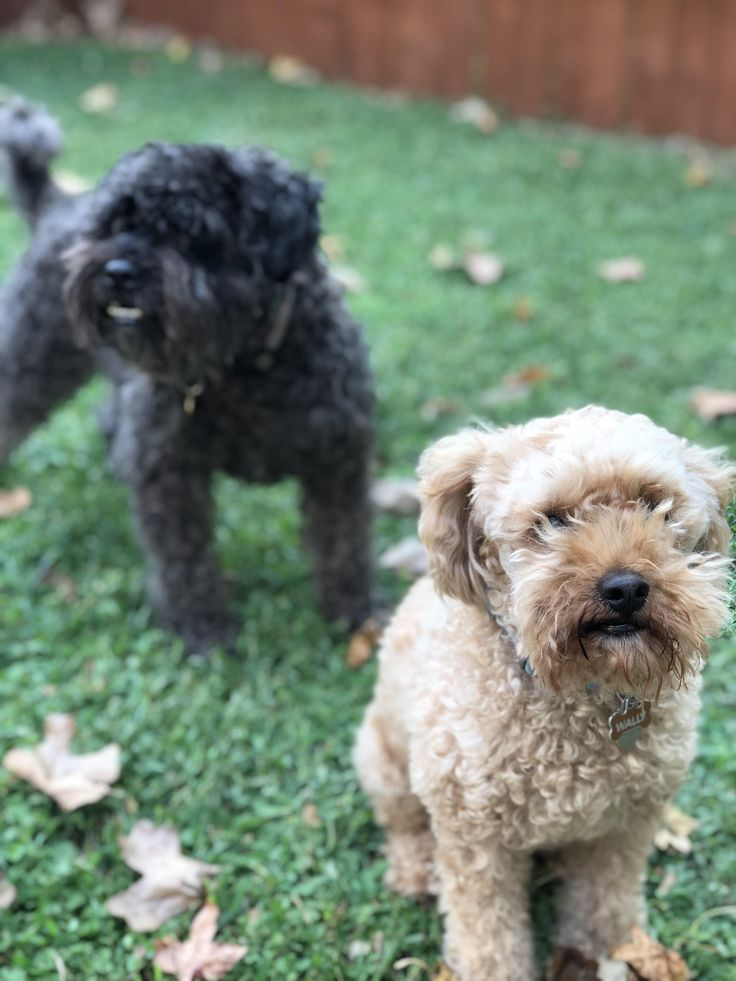 Walter the rescue poodle and Pete the schnoodle #dogpictures #dogs #aww #cuteanimals #dogsoftwitter #dog #cute