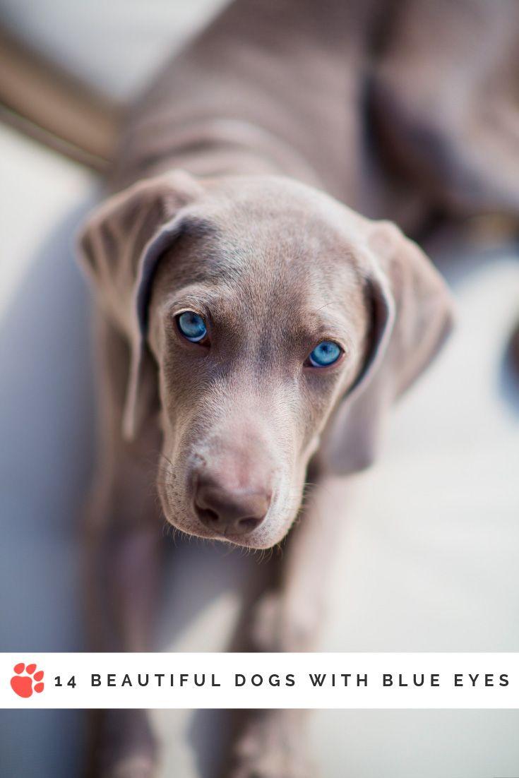 Dog Breeds With Blue Eyes 14