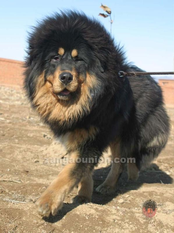 A Tibetan Mastif that looks like a lion...my kind of dog....