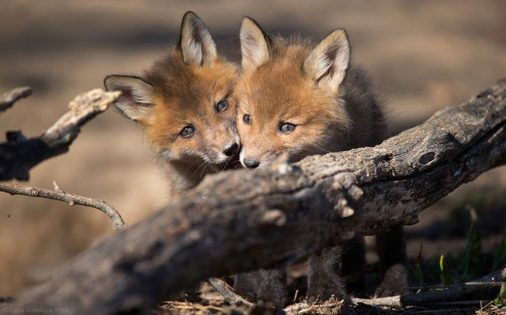 Red Fox Cubs by Lana Soboleva on 500px