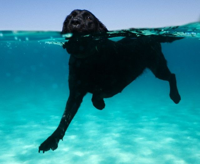 Terrific shot of a Labrador swimming #dogs [thanks to @Stacey McKenzie Polbos for posting on the group board]