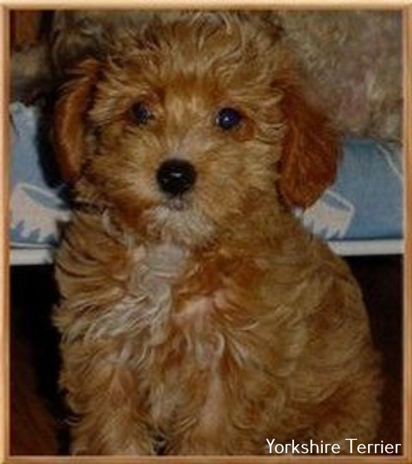 Yorkshire Terrier Energetic And Affectionate Yorkie Poo