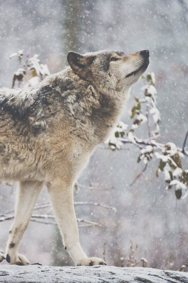 """wolverxne: """" Timber Wolf 