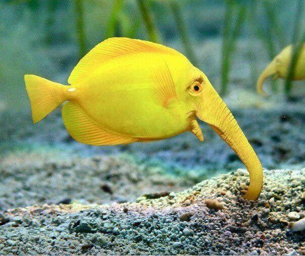 Elephant fish in aquarium yes it 39 s real although this for Cute freshwater fish