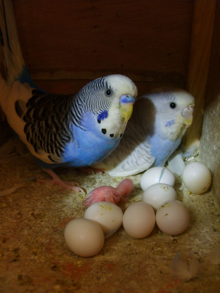 Mum and Dad with eggs and a newly hatch budgie chick. They are so tiny and fragile when just hatched it seems a miracle they survive.