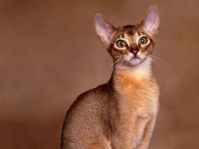 Abysinnian: Cats, Abyssiniancat Baby, Gatos Abisinio, Abyssinian Cat, Adorable Cat, Kitty Kitty, Animal Friends, Cat Breeds, Domestic Cat