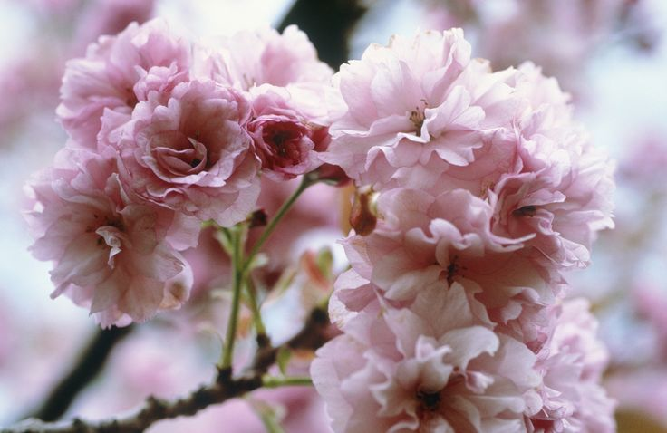Japanische Blütenkirsche 'Kanzan' • Prunus serrulata 'Kanzan' • Orientalische Kirsche 'Kanzan' • Ostasiatische Kirsche 'Kanzan' • Pflanzen & Blumen • 99Roots.com