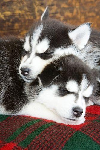 Siberian Husky puppy naptime
