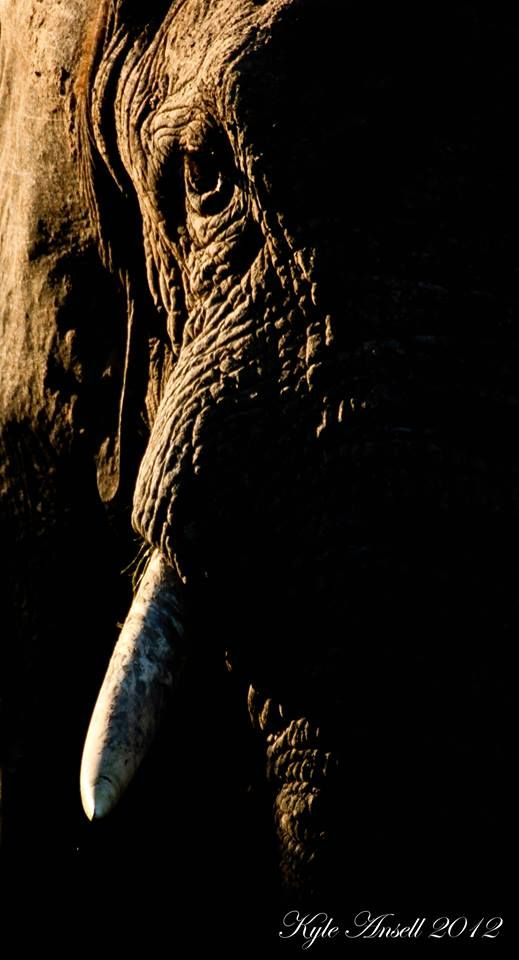 Elephant on Amakhala Game Reserve photograph take by Ranger Kyle Ansell
