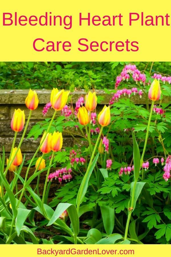 Bleeding Heart Plant Care Secrets You Should Know Bleeding Heart Plant Bleeding Heart Flower Beautiful Flowers Garden