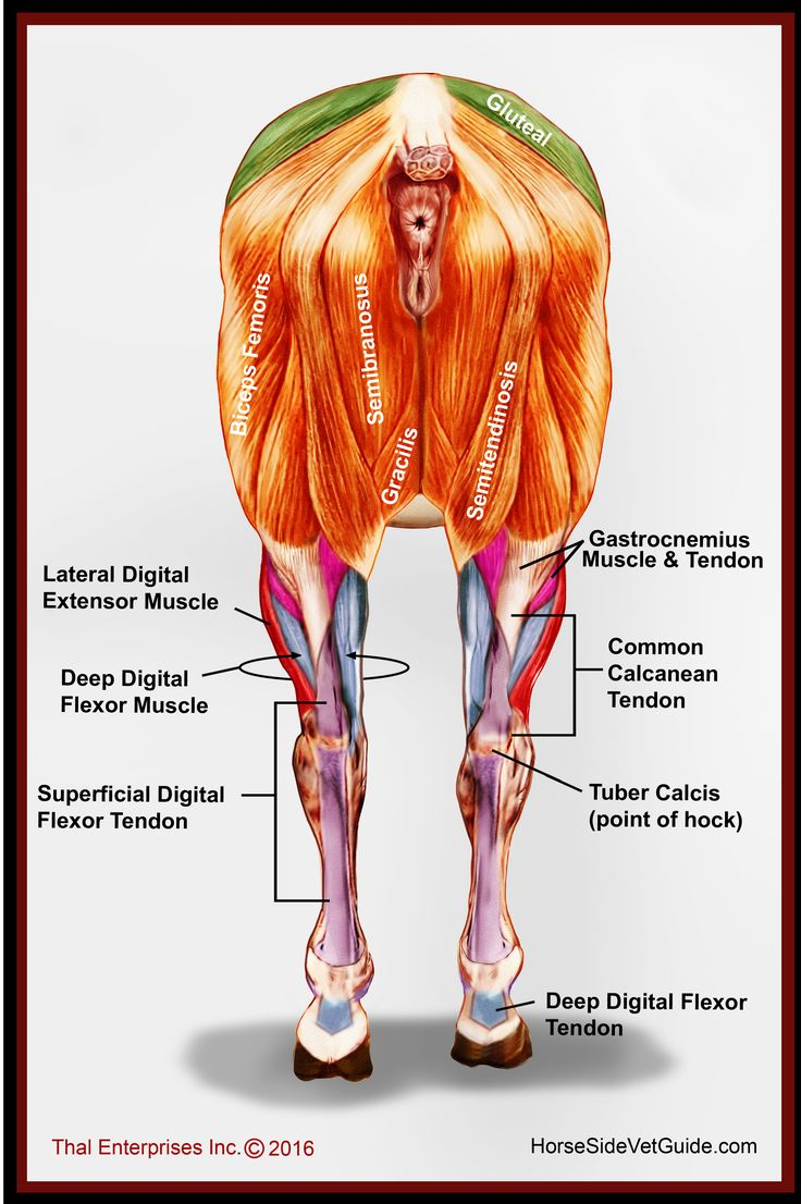We continue to add to Horse Side Vet Guide almost every day, and those of you with the app continue to have a resource that gets better and better!   We just added this image to QUICK REFERENCE. That means that it is always on your phone, with or without Internet, for easy reference! This image shows you the most important muscular and tendinous structure of the horse's legs, when viewed from the rear. I hope you find it useful.  - Dr. Thal DVM DABVP, creator of HSVG