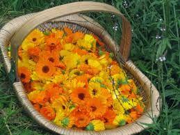 caléndula flor - recogida