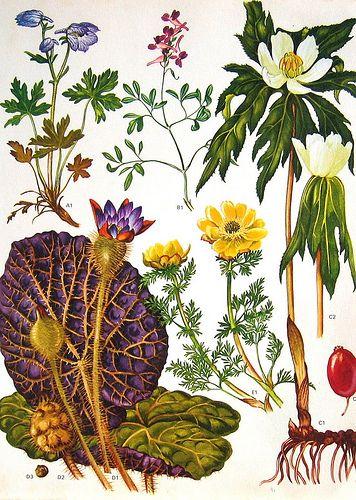 Vintage Botanical Print, Flowers