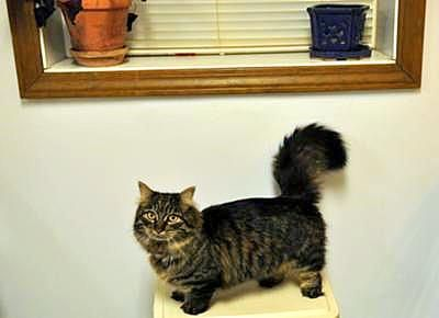 my dwarf cat munchkin cats pinterest chats et chat nain. Black Bedroom Furniture Sets. Home Design Ideas