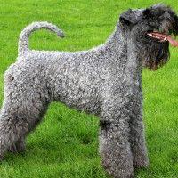 #dogalize Razas de Perros: Kerry Blue Terrier caracteristicas #dogs #cats #pets